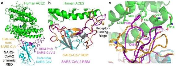 F.Li/Minesotos universiteto nuotr./Trimatė prie žmogaus ląstelės besijungiančios koronaviruso spygliuko vietos struktūra
