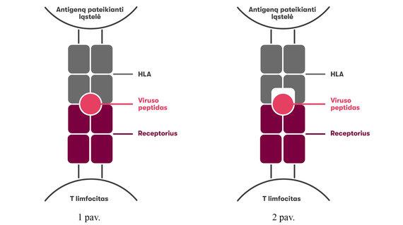 VU iliustr./HLA molekulių įtaka organizmo imuniniam atsakui