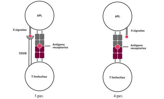 VU iliustr./CD28 receptoriaus netekę limfocitai gali lemti citokinų audrą