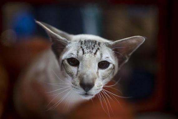"""""""Scanpix""""/AP nuotr./Siamo katė"""