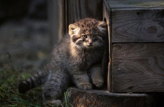 Sputnik nuotr./Sibiro katė