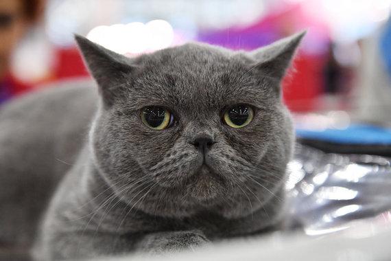 Sputnik nuotr./Britų trumpaplaukė katė