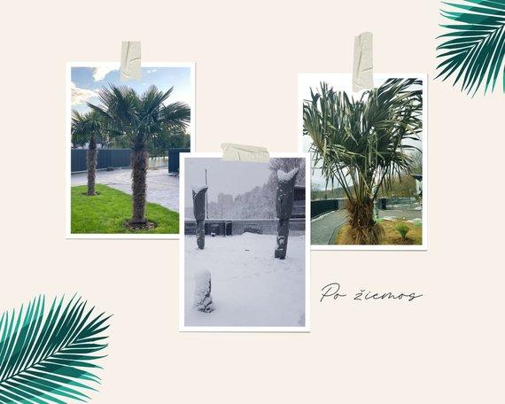 Asmeninio archyvo nuotr./Sandros ir Aido peržiemojusios palmės