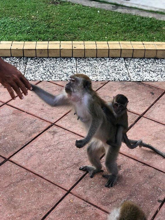"""""""Baltic tours"""" nuotr./Vagiliauti įgudusios beždžionėlės"""