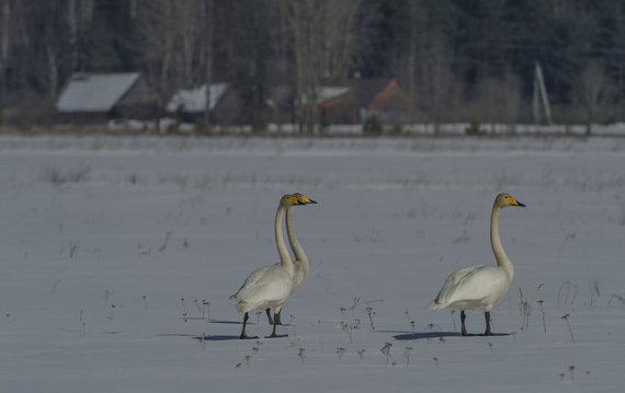 Selemono Paltanavičiaus nuotr./Gulbių giesmininkių sniegas negąsdina
