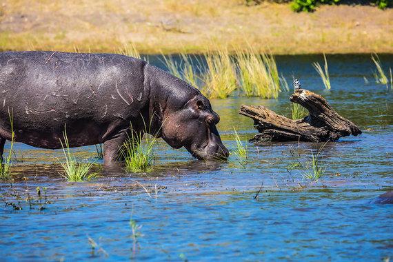 Shutterstock nuotr./Zambezė, Zimbabvė, gyvūnai