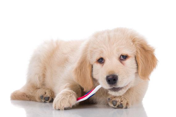 123RF.com nuotr./Šuo, dantukų valymas