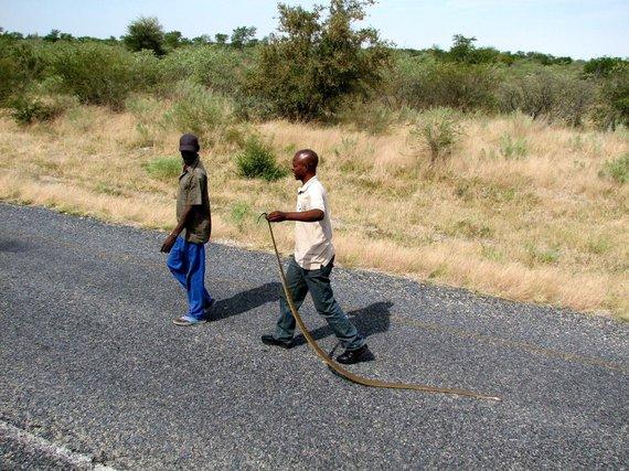 """Kelionių organizatoriaus """"GRŪDA"""" nuotr./Gyvatę pervažiavę vyriškiai neša grobį į automobilį, Botsvana"""
