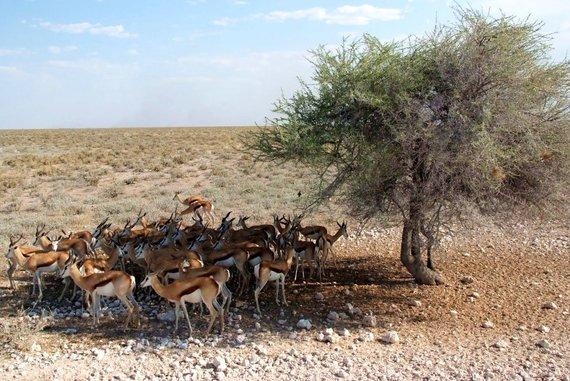 """Kelionių organizatoriaus """"GRŪDA"""" nuotr./Būrys antilopių, Botsvana"""