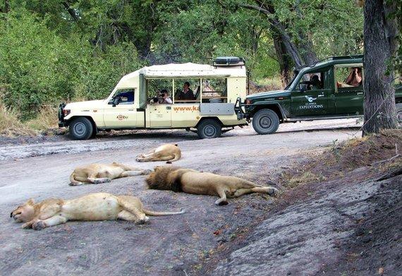 """Kelionių organizatoriaus """"GRŪDA"""" nuotr./Įmigę liūtai, Botsvana"""