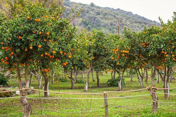 123RF.com nuotr./Apelsinmedžių giraitė Graikijoje