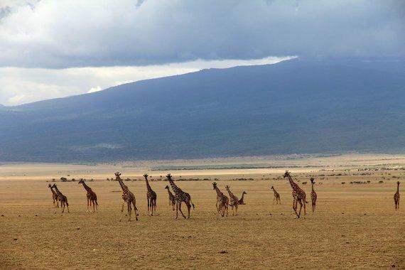 """Kelionių organizatoriaus """"GRŪDA"""" nuotr. /Afrikos gyvūnai – žirafos"""