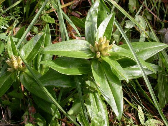 Pavilnių regioninio parko nuotr. /Retas saugomas augalas, augantis Pavilnių regioniniame parke - melsvasis gencijonas