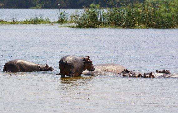 """Kelionių organizatoriaus """"GRŪDA"""" nuotr. /Hipopotamai"""