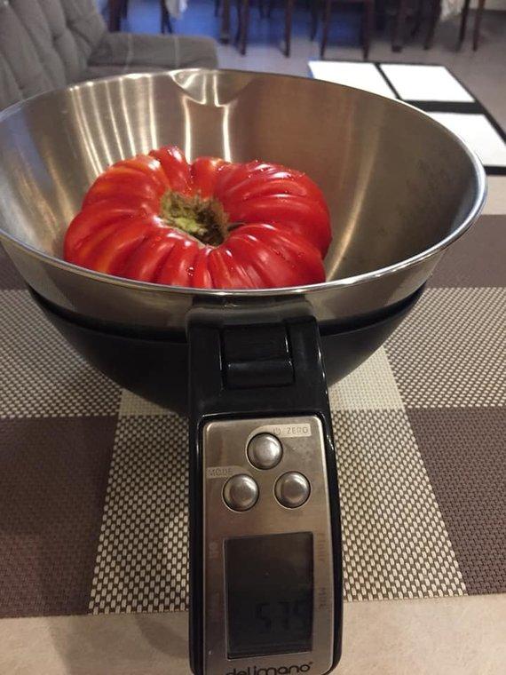 Asmeninio archyvo nuotr. /Kaunietės Dainos užaugintas pomidoras