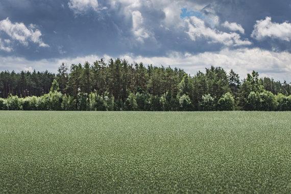 Oat field in Lithunia