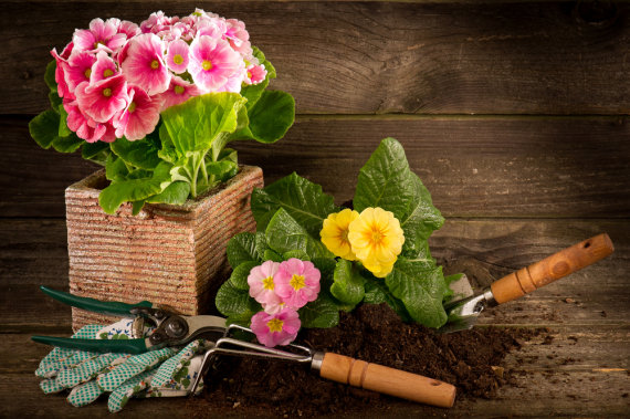 """Shutterstock"" nuotr./Gėlė vazone"