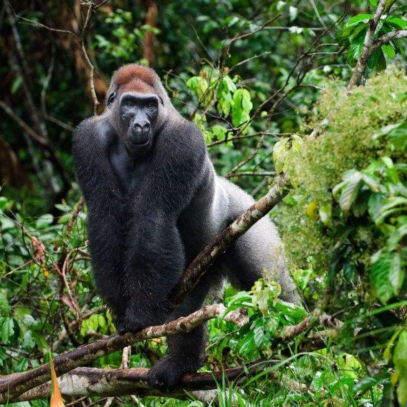 123rf.com nuotr/Gorila Kongo Demokratinėje Respublikoje