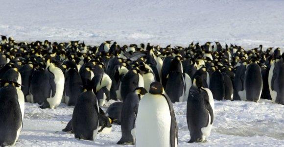"""Antarktidos imperatoriškuosius pingvinus ištiko """"katastrofinė"""" veisimosi nesėkmė"""
