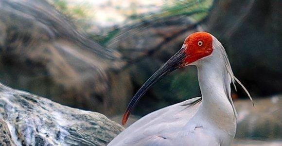 Pietų Korėjoje į laukinę gamtą sugrąžinti prieš 40 metų ten išnykę paukščiai