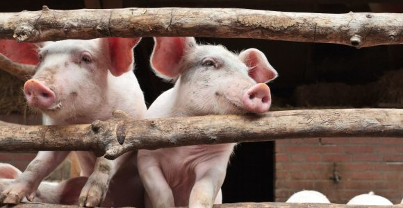 Kazlų Rūdos savivaldybės teritorijoje – 2 nauji kiaulių maro židiniai