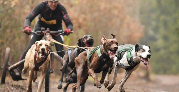Šunų kinkinių sporto Europos čempionate nugalėjo lietuvė