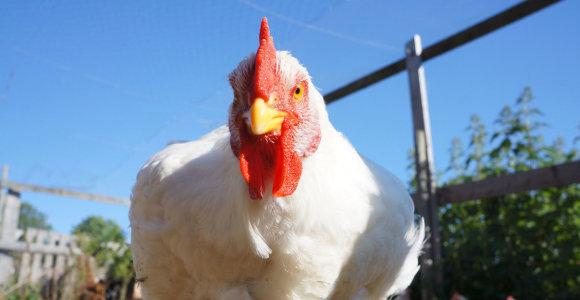Paukščių gripas plinta į Slovakiją, Vengriją, Rumuniją