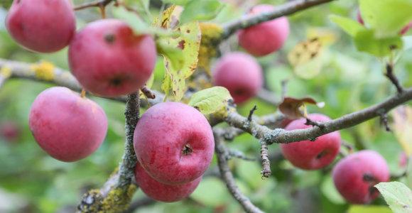 Obuoliai šiemet brangs – augintojų derlius netenkina