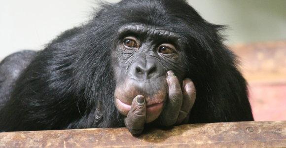 Kodėl šimpanzės drabstosi išmatomis?