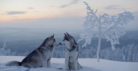 Aliaskos malamutų augintojai: Vokietijos policija juokėsi iš sirenas atkartojančių šunų