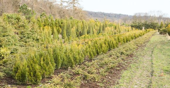 Ekspertas pataria: gyvatvorių sodinimo bei priežiūros ypatumai
