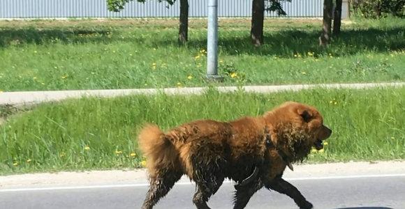 Kaune besiblaškiusio čiau čiau veislės šuns likimas nežinomas: nepavyko net jo pašauti