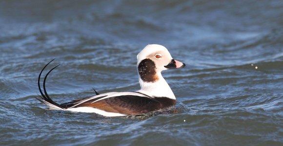 Kruvinas ornitologų darbas: kad išsiaiškintų jūros paukščių nykimo priežastis, skrodžia jūros antis