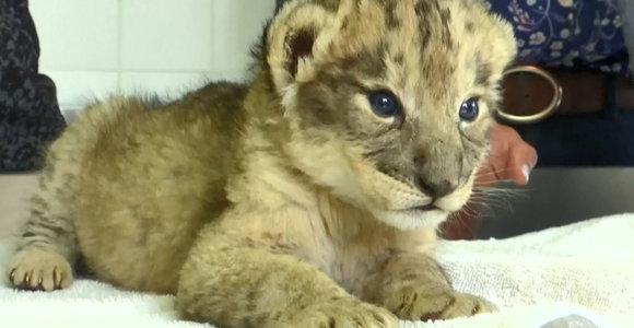 Pietų Afrikoje gimė pirmieji pasaulyje mėgintuvėlyje pradėti liūtukai