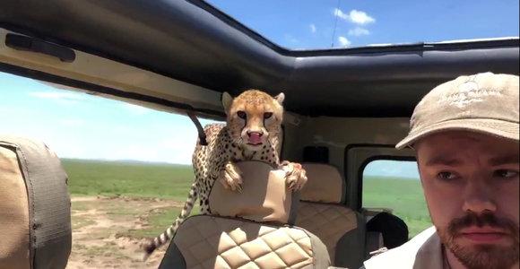 Smalsus gepardas nustebino turistus per safarį įšokęs į jų visureigį