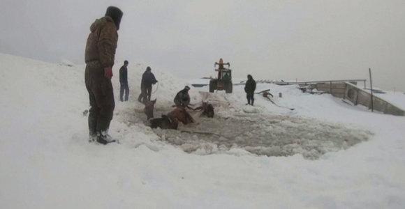 Pasidalino dramatiška vaizdo medžiaga, kaip ūkininkai Rusijoje išgelbėjo 11 įlūžusių arklių