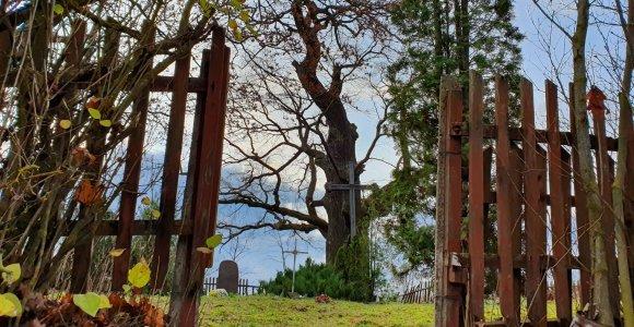 Žadeikonių ąžuolas – vienas didžiausių Lietuvoje, savo šešėlyje slepiantis senas kapinaites