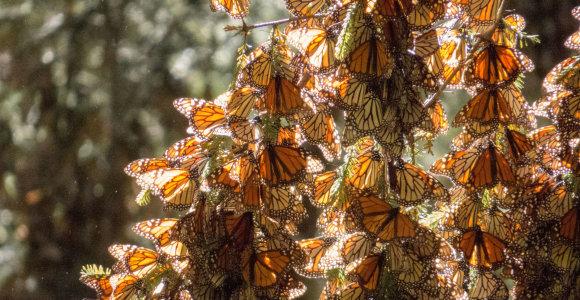 Turkija, Graikija ir dar 4 vietos, kur galima stebėti margaspalvius drugelius