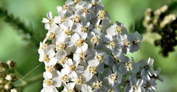 G.Bružienė – apie vaistažolę, kurios visada verta turėti po ranka