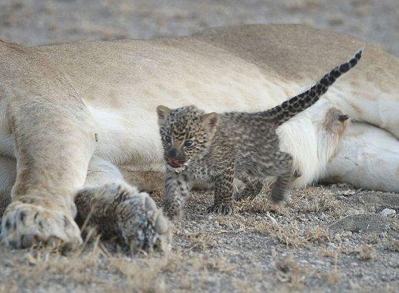 """""""Scanpix""""/AP nuotr./Tanzanijos draustinyje pastebėta leopardo jauniklį maitinanti liūtė"""
