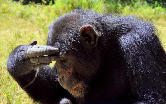 M.Vadišio nuotr./Šimpanzė