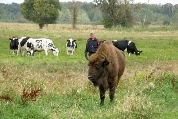 npbp.by nuotr./Baltarusijoje prie karvių bandos prisiplakė stumbras.