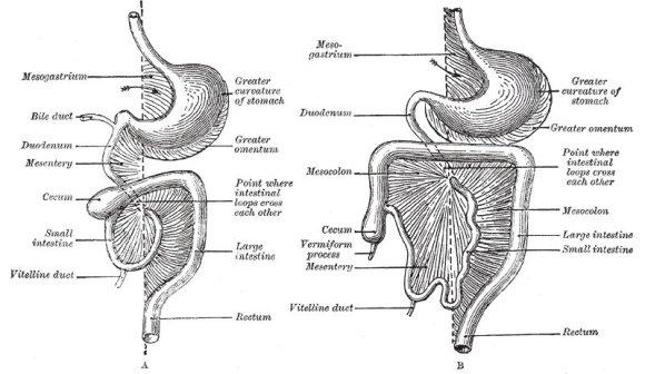 Wikimedia Commons iliustr./Henry Vandyke Carter - Henry Gray (1918 m.) Anatomy of the Human Body. /Didžioji taukinė