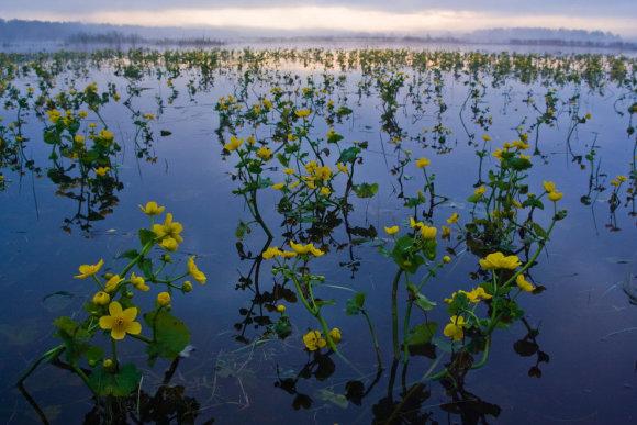 Bialovesko nacionaliniame parke pavasarinės gėlės
