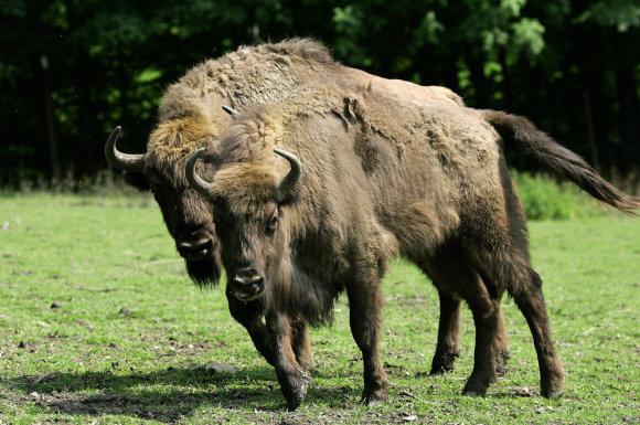 Bizonai Bialovesko nacionaliniame parke