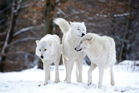 """""""Reuters""""/""""Scanpix"""" nuotr./Arkties vilkai"""