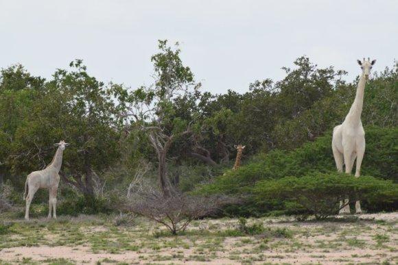 """""""Hirola Conservation Programme"""" nuotr./Baltosios žirafos"""