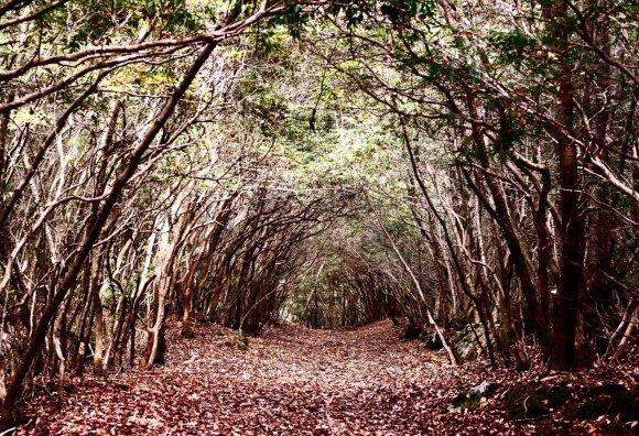 123rf.com nuotr./Aokigaharos miškas