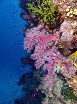 Wira Wijoga nuotr./Minkštasis koralas Namenos rezervate