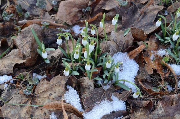 15min.lt skaitytojo nuotr./Verkių parke – vasario pabaigoje pražydusios snieguolės